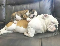 The major breeds of bulldogs are English bulldog, American bulldog, and French bulldog. The bulldog has a broad shoulder which matches with the head. Cãezinhos Bulldog, English Bulldog Puppies, British Bulldog, Mini English Bulldogs, Mini Bulldog, Cute Funny Animals, Cute Baby Animals, Funny Dogs, Cute Puppies