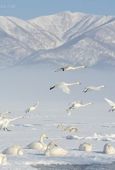 White & Wild Japan|Japanese cranes, and whooper swans. #Hokkaido #Japan by Marsel van Oosten (500px.com)