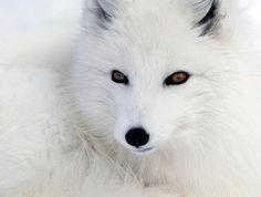 arctic fox's beautiful EYES