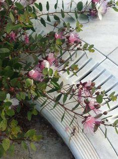 Σπόροι κάππαρης   Οι σπόροι συλλέγονται αποκλειστικά από φυτά Capparis Spinosa υπό-είδος Rupestris ποικιλία Ruspestris , η ποικιλία αυτή της κάππαρης ευδοκιμεί κατά κύριο λόγο στις κυκλάδες