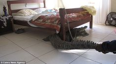 There is a croc under my bed..click on link for more photos.