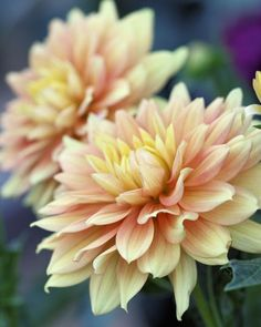 #Pale Peach and #Yellow Dahlias by Jenny, FlandersField at etsy, Photographs from Seattle, Original digital photograph of pale peach and yellow dahlias, taken near Wenatchee, Washington.