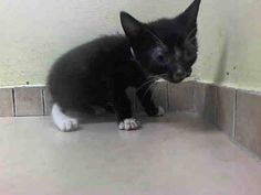 NYC Tiny Kitten TO BE DESTROYED Tuesday, Aug.5'14 PUMPKIN. ID #A1008843. Male black and white about 5 WEEKS old. STRAY came in with Group/Litter #K14-188308. https://www.facebook.com/nycurgentcats/photos/a.839090189442303.1073742390.220724831278845/839090779442244/?type=3&theater