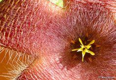 Stapelia grandiflora flower | Flickr - Photo Sharing!