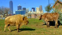 White Buffalo Makes Home In Dallas - Fuel City is located 801 South Riverfront Blvd. It includes eight acres on the banks of the Trinity River at the interchange of I-30 and I-35E.