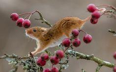 Harvest hiir kogub Morpethis, Northumberlandis marju.  Neid jumalikke olendeid peetakse sageli rändamiseks läbi niidud ja hekid, kuid põllumajandusest tingitud muutuste tõttu on vaatlused muutunud vähe ja kaugel.