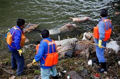 Over 3000 Dead Pigs Fished Out Of Huangpu River
