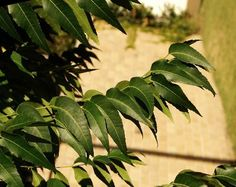 Neem leaves can slow down facial hair growth, discover how with this quick article. For more remedies for facial hair go to TheIndianRose recipe section. Hair Growth Home Remedies, Home Remedies For Hair, Hair Remedies, Herbal Remedies, Neem Leaf Benefits, Health Benefits, Facial Hair Growth, Hair Treatments