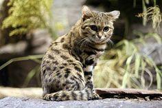 Black Footed Cat (Kitten)