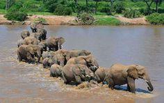 Afrikaanse olifanten doorkruisen rivier - Pics