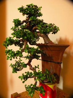 1000 images about bonsai el arte del arbol on pinterest - Planta de jade cuidados ...