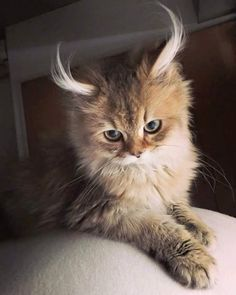 No idea what kind of cat this is but its ears are amazing! - Catsincare.com