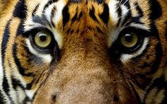 sumatran tiger   Sumatran tiger: There are fewer than 400 Sumatran tigers left in the ...