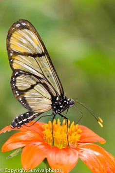 Methona confusa (Giant Glasswing) Butterfly by Survivalphotos