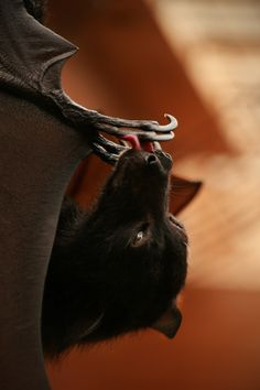 This Dogz Got Wings... must love batz: http://www.pinterest.com/johnjliam/must-love-batz/
