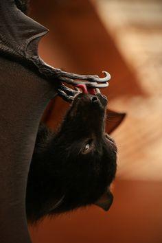 Breathtaking black flying fox