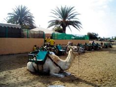 Camel Dunes - Ride across the Maspalomas sand dunes visited 2015 Canario, Canary Islands, Your Smile, Dune, Camel, Stuff To Do, World, Places, Holiday