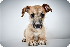 Krystal by Richard Phibbs.  She is a four month old Chihuahua mix up for adoption at the Humane Society of New York.