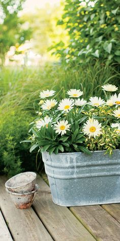 A very popular perennial, Daisy May Shasta Daisy sets the scene here in a rustic galvanized container set against an untamed landscape. - All For Garden Outdoor Flowers, Rustic Flowers, Flowers Perennials, Planting Flowers, Container Plants, Container Gardening, Shasta Daisies, Daisy May, Daisies