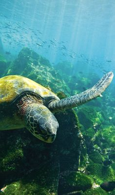 Es una tortuga grande. La tortuga es azul y verde. Se puede nadar con las tortugas.