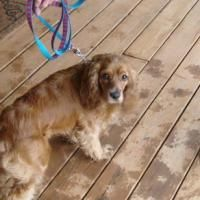 Cocker Spaniel, 2 Year Old Male Offer Florence / Muscle Shoals Florence...looks jusr like my lily