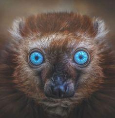 Manuela Kulpa, consultante en informatique et photographe à ses heures perdues, a organisé une impressionnante séance photo avec des primates. Elle a voyagé à travers l'Europe pour rencontrer leurs animaux: elle est allée en Autriche, en Belgique, en République tchèque, en Allemagne, aux Pays-Bas… «Les émotions sont reflétées dans les visages de ces primates: vous pouvez presque deviner ce qu'ils pensent», explique la quadragénaire.