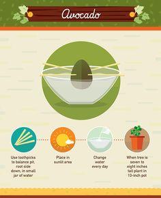 Avocado - How to regrow it