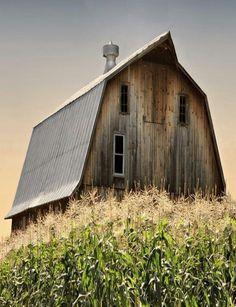 Corn field  beautifully shaped barn