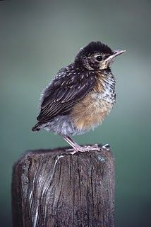 Baby Robin out of the nest ...still can't fly much.