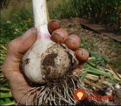 Chystáte sa po lete vysadiť cesnak? Trik skúsených záhradkárov, vďaka ktorému môžete čakať bohatú úrodu extra veľkých plodov!