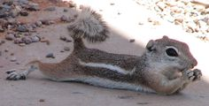 Antelope Ground Squirrels can tolerate body temps up to To cool down, they flatten their bellies against cool spots on the ground. Ground Squirrel, Baby Squirrel, Baby Chipmunk, Baby Animals, Cute Animals, Wild Animals, Wild Nature, Cute Animal Pictures, Cool Pets