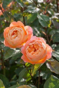 Lady Emma Hamilton - David Austin English Rose
