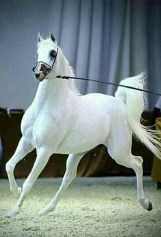 Arabian horses are truly beautiful creatures. Beautiful Arabian Horses, Most Beautiful Horses, Majestic Horse, Pretty Horses, Horse Love, Animals Beautiful, Beautiful Creatures, Animals Of The World, Animals And Pets