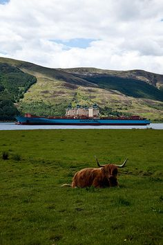 Highland cow and ships, Loch Striven_001