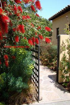 red bottle brush bush