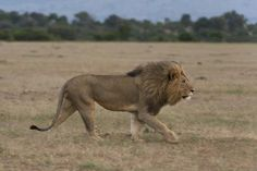 size: Photographic Print: A Male Lion, Panthera Leo, Walking at Masai Mara National Reserve by Sergio Pitamitz : Lion Profile, Lion Walking, Male Lion, Animal Sketches, Fauna, Big Cats, Find Art, Framed Artwork, Lions