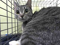 SAFE! TO BE DESTROYED 2/2/15 *NYC* SCARED YOUNG GIRL!! * Manhattan Center * The cat was very cautious and scared upon arrival. She allowed me to pick up very slowly. NH ONLY! Please foster, adopt or pledge to save this poor, terrified kitty now!! *   My name is SOFRITO. My Animal ID # is A1026532. I am a female gray tabby domestic sh mix.  I am about 1 YEAR 1 MONTH old.  I came in as a STRAY on 01/28/2015 from NY 10027