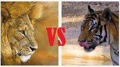Resultado de imagem para leoes apaixonados gifs
