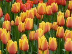 Resultados de la Búsqueda de imágenes de Google de http://www.altum.es/assets/Blog/imgTextos/Hernando/Post-El-sortilegio-del-tulipn/_resampled/resizedimage266200-Horizontal-varios-amarillos.jpg
