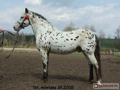 Polish Half-Bred Horse - stallion Poker