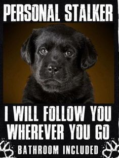 Funny Labrador Dog Quotes And Sayings – The Paws Lab Puppies, Cute Puppies, Cute Dogs, Labrador Retrievers, Black Labrador Retriever, Retriever Puppy, Golden Retrievers, Animals And Pets, Funny Animals