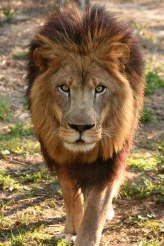 Lion. Big Cat Rescue, Tampa, Florida