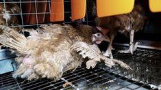 Scandale des œufs Matines : L214 exige l'interdiction de l'élevage des poules en cage