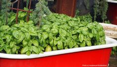 Everything you need to know to grow and use basil.