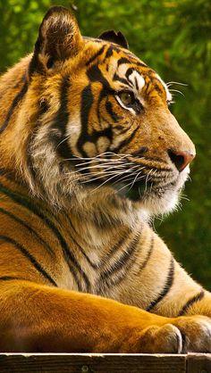 Tiger looking regal