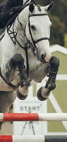 Dapple Grey Horse English Show Jumping Jump Cute Horses, Pretty Horses, Horse Love, Beautiful Horses, Show Jumping Horses, Show Horses, Horse Photos, Horse Pictures, Hunter Jumper