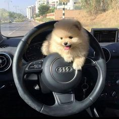 The traits I enjoy about the Cute Pomeranians Everything About Cute Pomeranian Baby Animals Super Cute, Cute Baby Dogs, Cute Little Puppies, Cute Dogs And Puppies, Cute Little Animals, Cute Funny Animals, Puppies Puppies, Doggies, Fluffy Puppies