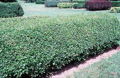 hicks yew embankment plants pinterest shrubs medium. Black Bedroom Furniture Sets. Home Design Ideas