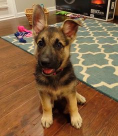 German Shepherd puppy after playing with toys