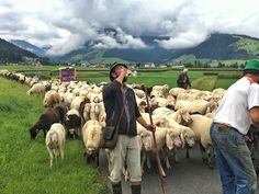 Innsbruck, Animals, Volunteers, Communities Unit, Sheep, Animales, Animaux, Animal, Animais